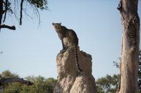 Botswana safari leopard