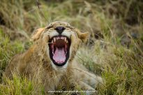 Botswana Lion Roar