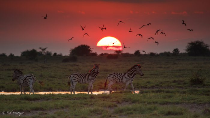 Botswana Sunset and Zebras