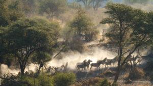 Botswana safari zebras in the dust