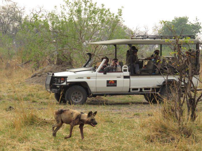 Botswana safari wilddog